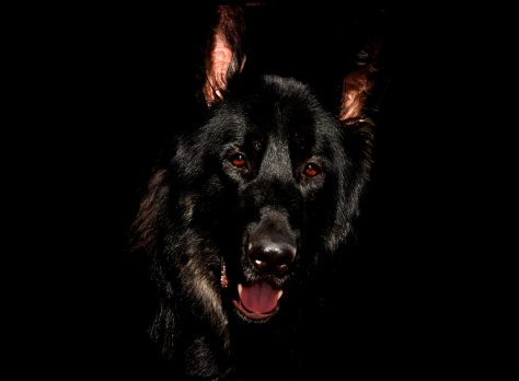animal-black-canine-56034